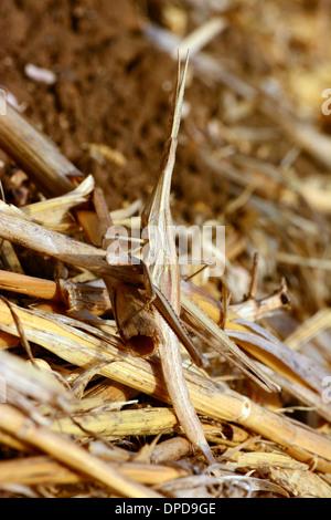 Camouflée sur végétation sèche sauterelle Banque D'Images
