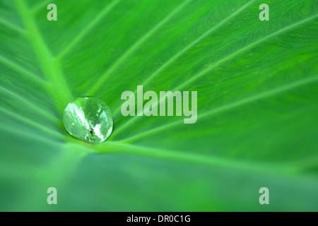 Gouttes d'eau sur une feuille de lotus dans la nature Banque D'Images