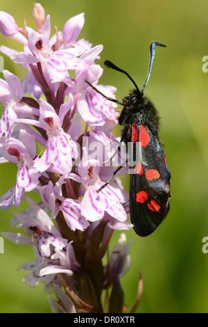 Six-spot Burnet Moth (Zygaena filipendulae) adulte au repos sur l'orchidée, fleur, Oxfordshire, Angleterre, juin