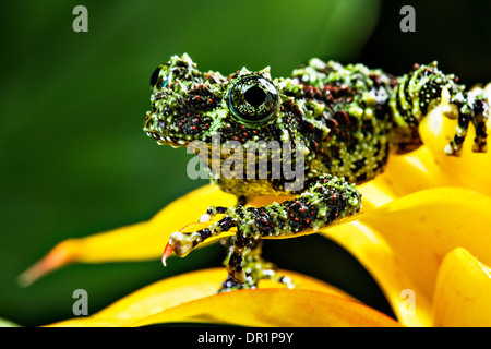 Grenouille moussus vietnamiens (Theloderma corticale) Banque D'Images