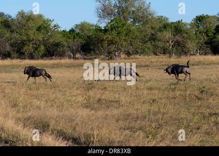 Certains gnous galopent près du camp Savute Elephant Camp par Orient Express au Botswana dans le Parc National de Banque D'Images