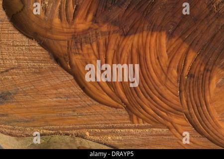 Marques de scies à chaîne dans une souche de coupes d'arbres conifères renversés dans bout de force de coup de vent Banque D'Images