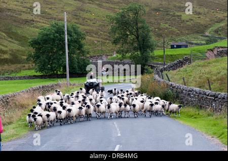 Agriculteur sur quad déménagement moutons un chemin rural. Teesdale dans Middleton, Durham, UK Co. Banque D'Images