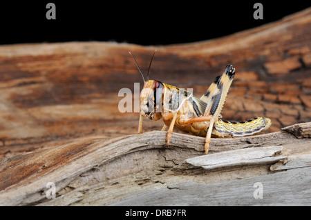 Close-up du criquet pèlerin Schistocerca gregaria sur bois ( )