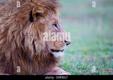 Mâle mature lion Panthera leo close up head shot et mane profile au repos Banque D'Images
