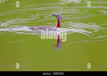 Jiujitsu rouge plumage nuptial adultes Gavia stellata Loch Funzie Aswan Juin Shetland Banque D'Images