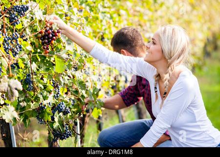 Vendanges, jeune couple picking grapes, Slavonie, Croatie Banque D'Images