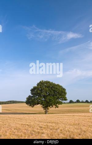 Pendulate / chêne anglais chêne (Quercus robur), arbre solitaire dans champ de blé en été