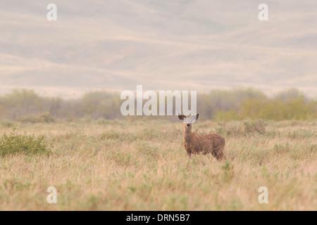 Cerf de Virginie dans les prairies ouvertes à l'aube, le parc national des Prairies en Saskatchewan Canada Banque D'Images