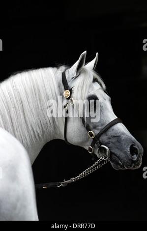 Bridled étalon poney australien gris portrait pris par derrière. Banque D'Images