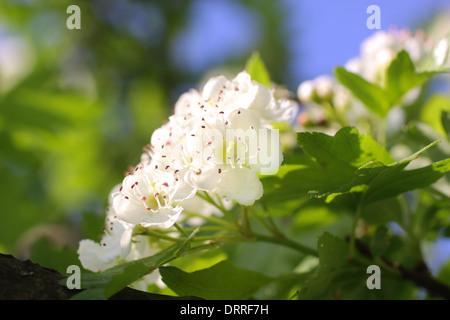 Close-up de cerisiers en fleurs au printemps Banque D'Images