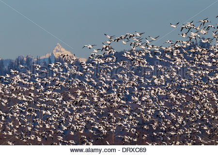 Un troupeau d'oies des neiges (Chen caerulescens) volent au-dessus de la vallée de la Skagit, dans l'état de Washington Banque D'Images