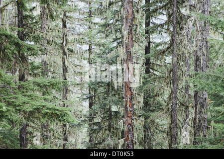 L'État de Washington USA vert luxuriant des forêts tempérées