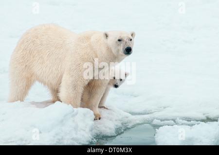 Mère Ours polaire avec Cub se cacher derrière elle, Ursus maritimus, Olgastretet la banquise, Spitzberg, archipel du Svalbard, Norvège