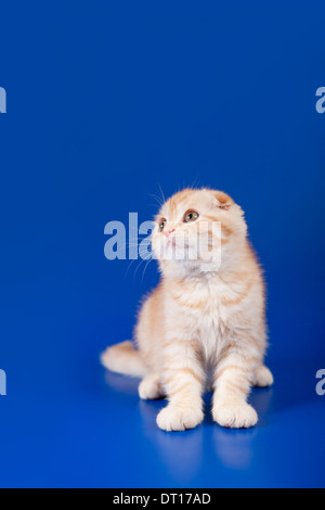 Scottish Fold crème tabby shorthair Chat de deux mois sur bleu Banque D'Images