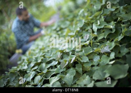 Woodstock, New York USA agriculteur ayant tendance à du concombre jardin bio Banque D'Images
