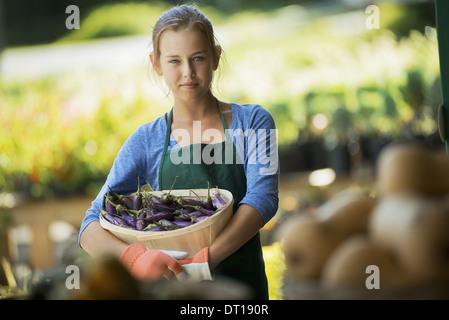 Woodstock, New York USA Agriculteur biologique récoltés avec l'Aubergine Japonaise Banque D'Images