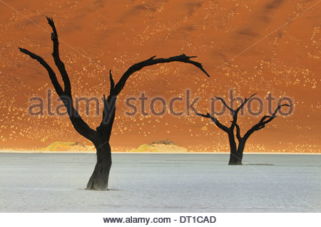 Namib-Naukluft National Park Namibie camelthorn Acacierioloba les arbres morts près de Sossusvlei Banque D'Images