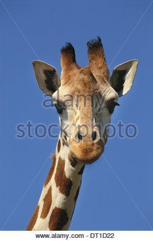 Kenya Kenya giraffe réticulée Yeux et cils