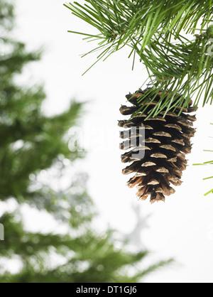 Feuillage feuille verte et des décorations d'une branche d'arbre de pin avec les aiguilles vertes décorations de Banque D'Images