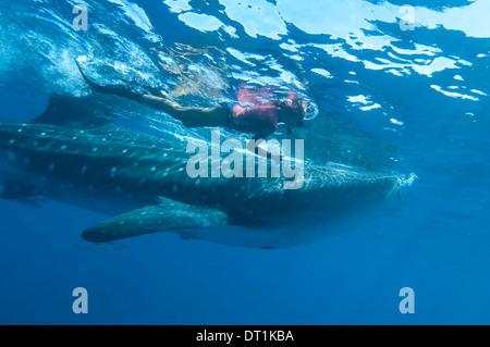 Snorkeler et requin-baleine (Rhincodon typus) ram alimentation Il se nourrit de zooplancton, Réserve Marine de Yum Balam, Quintana Roo, Mexique