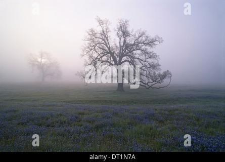Arbres de chêne dans la brume du petit matin en Californie Banque D'Images