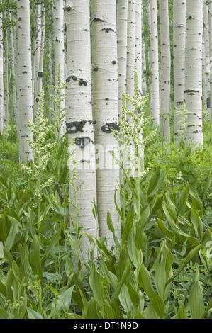 Bosquet de trembles avec écorce blanche et fleurs sauvages poussant dans leur ombre