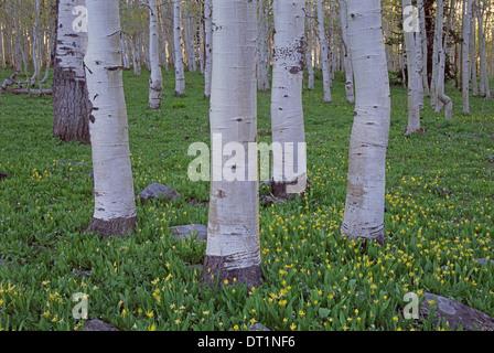 Bosquet de trembles avec écorce blanc et vert lumineux des couleurs vives dans les fleurs sauvages et les herbes sous