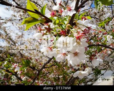 Le printemps est arrivé! Close up of Cherry Blossoms in Maryland/Washington area Banque D'Images