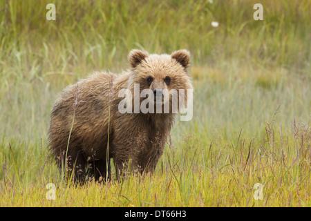 L'ours brun, Lake Clark National Park, Alaska, USA Banque D'Images