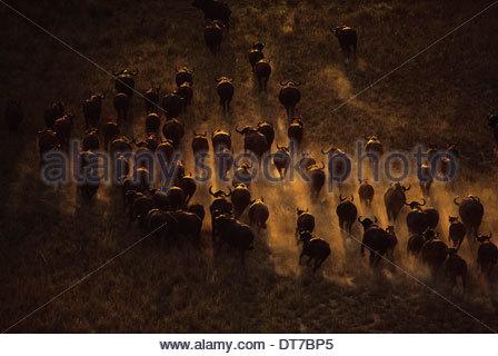 Syncerus caffer caffer buffle troupeau vu de l'air se déplaçant à travers le paysage au Botswana Botswana Banque D'Images