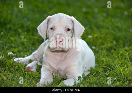 Le Dogue Allemand chiot blanc (6 semaines) étendu sur un pré Banque D'Images