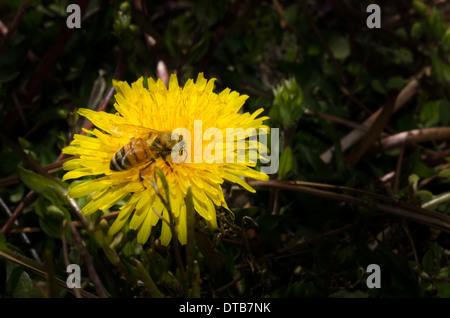La collecte du pollen d'Abeille sur un pissenlit ensoleillée près. Banque D'Images