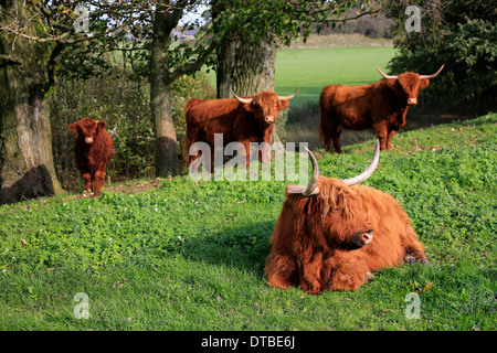Wesel, Allemagne , Scottish Highland cattle Banque D'Images