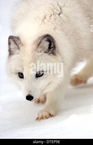 / Le renard arctique (Vulpes lagopus, Alopex lagopus)