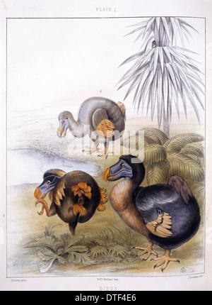 Raphus cucullatus, dodo