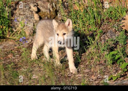 Le loup, CUB, 8 semaines / (Canis lupus) Banque D'Images