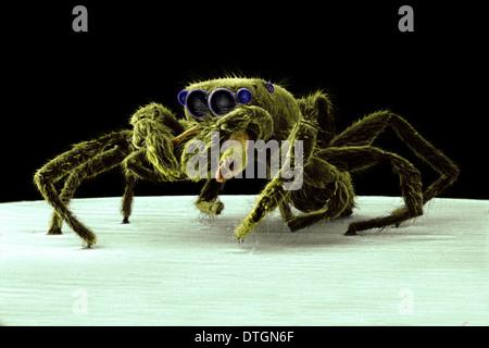 Salticus senecus, araignée sauteuse zebra Banque D'Images