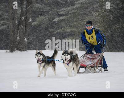 Femme musher sur traîneau à deux huskies de Sibérie en traîneau à chiens d'une race de Marmora Snofest dans une Banque D'Images