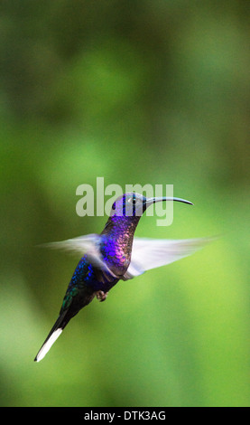 Campyloptère violet Campylopterus Hemileucurus Hummingbird Amérique Centrale Costa Rica Monteverde