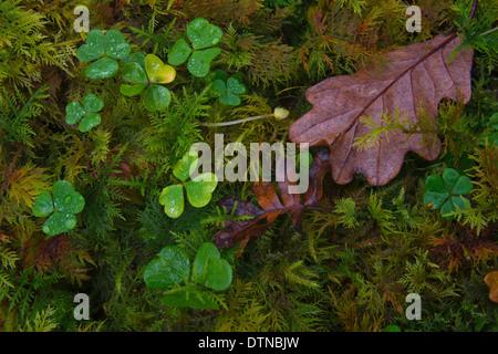 Clover, de mousse et de feuilles sur un sol forestier. Banque D'Images