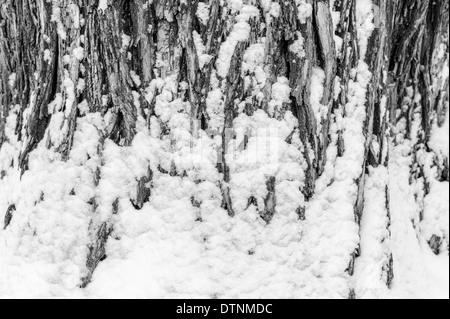 Vue en noir & blanc de neige fraîche dépoussiérer l'écorce d'un peuplier de l'arbre dans le centre-ville historique Banque D'Images