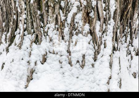 Les poussières de neige fraîche l'écorce d'un peuplier de l'arbre dans le centre-ville historique de Salida, Colorado, Banque D'Images