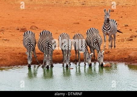 La moule commune (Equus quagga) groupe d'alcool au point d'eau, le parc national de Tsavo, Kenya, Afrique de l'Est Banque D'Images