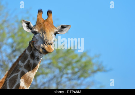 Girafe (Giraffa camelopardalis) et Red-billed Oxpecker (Buphagus erythrorhynchus), Kruger National Park, Afrique Banque D'Images