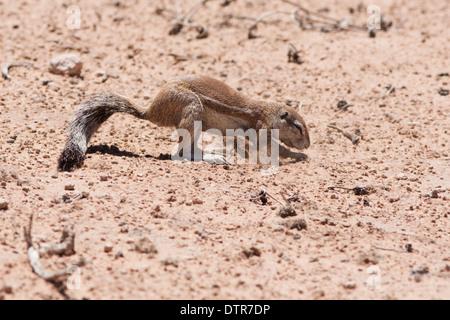 (Ha83 inauris) dans le désert du Kalahari Banque D'Images