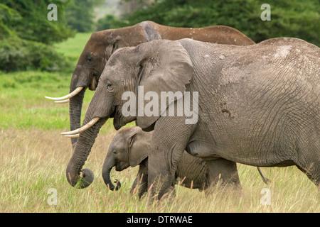 Une famille d'éléphants d'Afrique dans le Parc national Amboseli, Kenya, Africa Banque D'Images