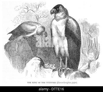 Le roi des vautours Sarcorhamphus papa Banque D'Images