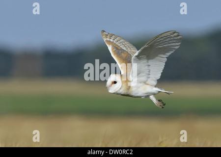 Effraie des clochers Tyto alba Banque D'Images