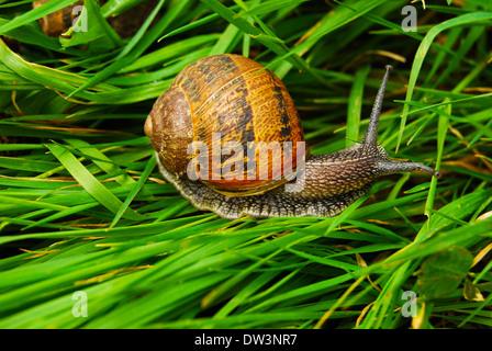 Escargot dans l'herbe Banque D'Images